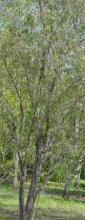 Asteromyrtus symphyocarpa