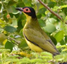 Australasian Figbird Adult Male
