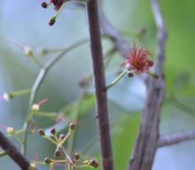 Barringtonia acutangula