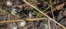 Calandrinia gracilis