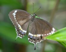 Fuscous Swallowtail (female)