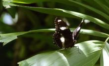 Varied Eggfly_male